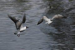 черная возглавленная чайка Стоковое Изображение RF
