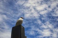 черная возглавленная чайка Стоковые Фото