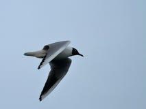 черная возглавленная чайка Стоковое Фото