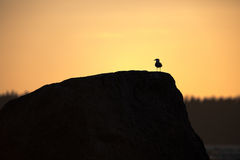 черная возглавленная чайка Стоковые Изображения