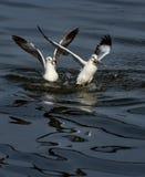 черная возглавленная чайка Стоковые Изображения RF