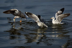 черная возглавленная чайка Стоковое Изображение