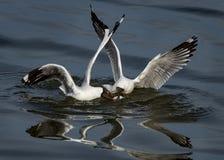 черная возглавленная чайка Стоковое фото RF