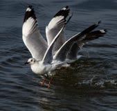 черная возглавленная чайка Стоковая Фотография