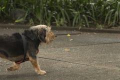 Черная волосатая собака идя самостоятельно стоковое изображение rf