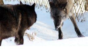 Черная волчанка волка волка идя в снег зимы Стоковые Фотографии RF