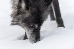 Черная волчанка волка серого волка участка обнюхивает на снеге Стоковые Изображения