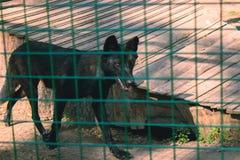 Черная волчанка волка волка тимберса Стоковое фото RF