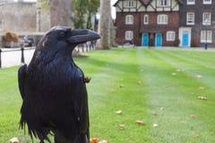 черная ворона королевская Стоковое Изображение