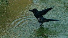 Черная ворона наслаждаясь купать воды акции видеоматериалы