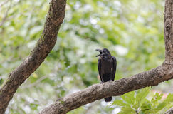 Черная ворона на ветви дерева в парке, провинции KamphaengPhet Стоковая Фотография RF