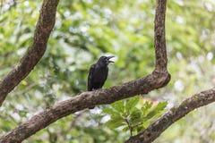 Черная ворона на ветви дерева в парке, провинции KamphaengPhet Стоковые Изображения RF