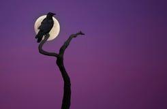 Черная ворона на сухом дереве Стоковая Фотография RF