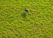 Черная ворона на яркой ой-зелен траве Стоковое Изображение RF