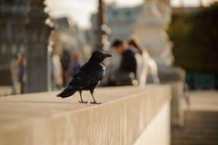 Черная ворона сидя на конкретном парапете на фоне города Стоковые Фотографии RF