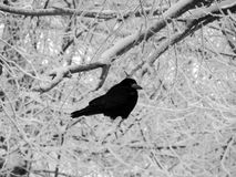 Черная ворона сидя на ветвях покрытых снег дерева в зиме Стоковые Изображения