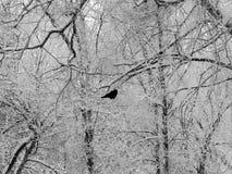 Черная ворона сидя на ветвях покрытых снег дерева в зиме Стоковое Изображение RF