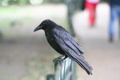 черная ворона Стоковые Изображения RF