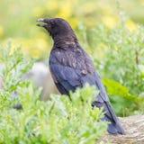 черная ворона Стоковые Фотографии RF