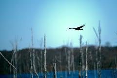 Черная ворона silhouetted против яркого голубого неба Стоковое Фото