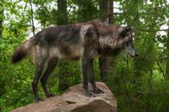 Черная волчанка волка серого волка на утесе Стоковое фото RF