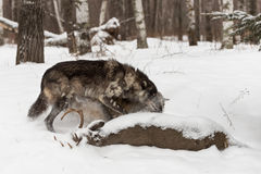 Черная волчанка волка серого волка участка взваливает на плечи другое в сторону на Dee Стоковое Фото