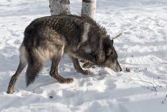 Черная волчанка волка серого волка участка двигает правую голову вниз Стоковые Изображения