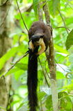 Черная гигантская белка (Ratufa bicolor) Стоковые Фотографии RF