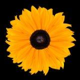 черная головка цветка изолировала желтый цвет rudbeckia Стоковое Изображение