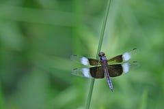 черная голубая муха дракона Стоковые Фото