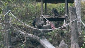 Черная горилла взбирается на лежа дереве и встречается серую гориллу видеоматериал
