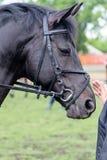 черная головная лошадь Стоковые Фотографии RF