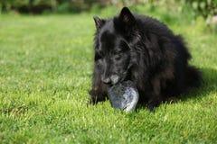 Черная голодная собака есть голову свежих рыб стоковое фото rf