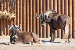 Черная группа gnou Connochaetes антилопы гну, также известная как бело-замкнутый гну на зоопарке Стоковые Фото