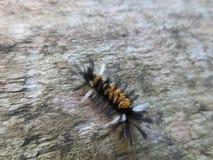 Черная гусеница апельсина и белых волосатая Стоковое фото RF