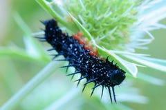 Черная гусеница под лист thistle стоковая фотография rf