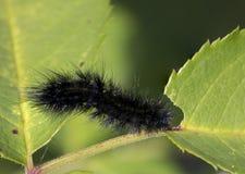 черная гусеница Стоковые Фотографии RF