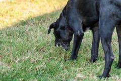Черная домашняя собака слизь рвоты стоковая фотография