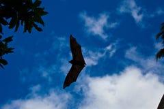 Черная летучая мышь Стоковое Изображение RF