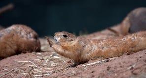 черная замкнутая прерия marmot Стоковое Изображение RF