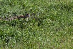 черная замкнутая прерия marmot Стоковые Изображения RF