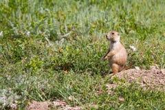 черная замкнутая прерия marmot Стоковая Фотография RF