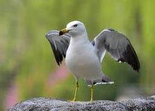 черная замкнутая чайка Стоковая Фотография