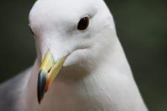 черная замкнутая чайка Стоковые Фото