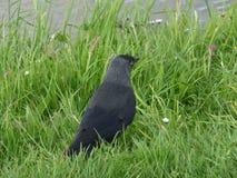 Черная западная птица галки ослабляя на зеленой траве рекой Стоковые Фотографии RF