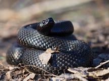 Черная змейка на лесе на листьях завила вверх в шарике Стоковые Фотографии RF