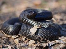 Черная змейка на лесе на листьях завила вверх в шарике Стоковая Фотография