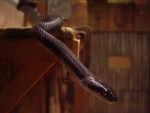 черная змейка Стоковая Фотография