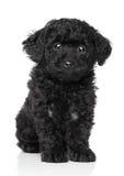 черная игрушка щенка пуделя Стоковое Фото