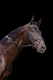 черная изолированная лошадь Стоковая Фотография RF